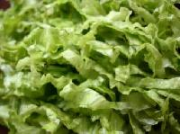 Valójában betegségeket okozhat a szép zöld saláta