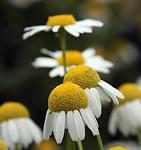 Kamilla a gyógynövények királynője