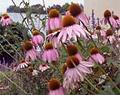 Kasvirág, a természetes fertőzésgátló