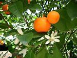 Mandarinfa: példátlan pozitív hatások